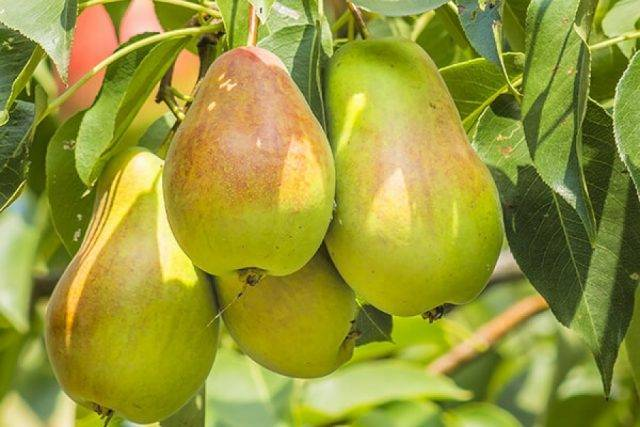 Посадка плодовых деревьев весной: посадка на участке саженцев яблони, груши, вишни и сливы