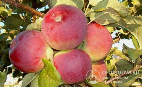 Яблоня изумительное (россошанское вкусное): описание сорта и характеристики