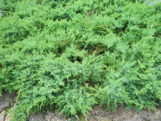 Кустарник можжевельник: посадка и уход в открытом грунте, фото, пересадка и размножение
