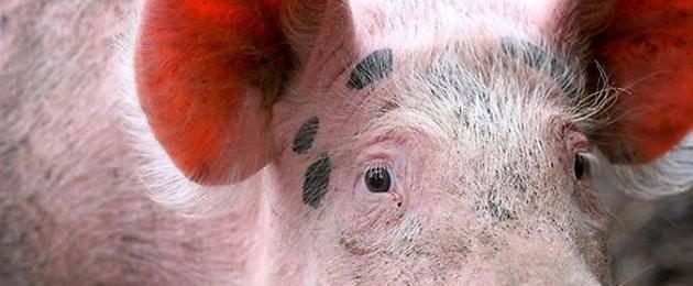 Чем опасен и как правильно лечить пастереллез свиней