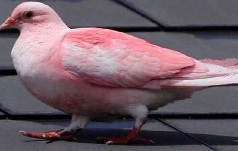 Странствующий голубь  фото, описание, ареал, питание, враги