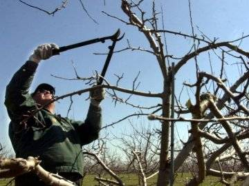 Уход за яблоней осенью и подготовка к зиме