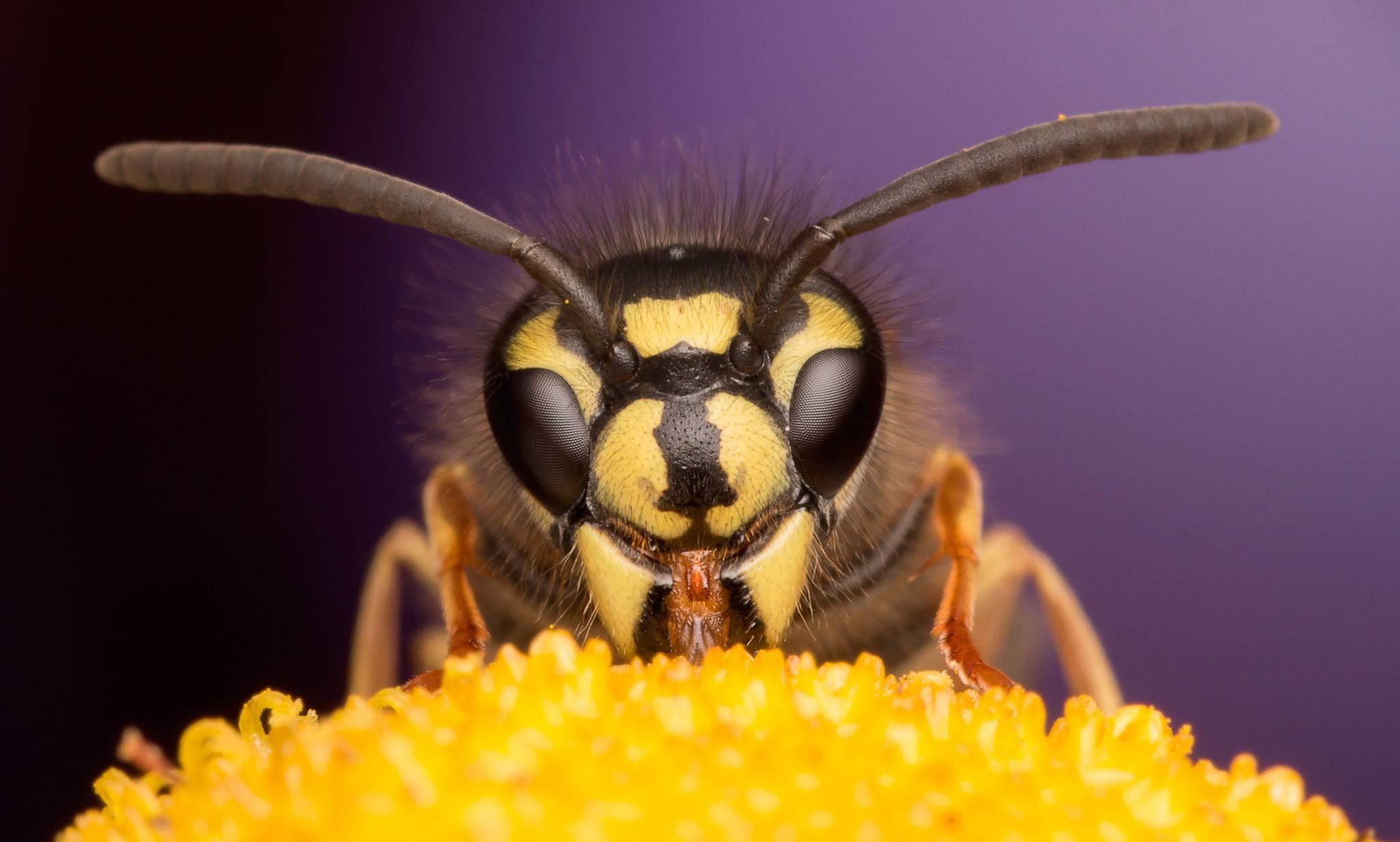 Как выглядит матка пчелы? выведение матки пчелы