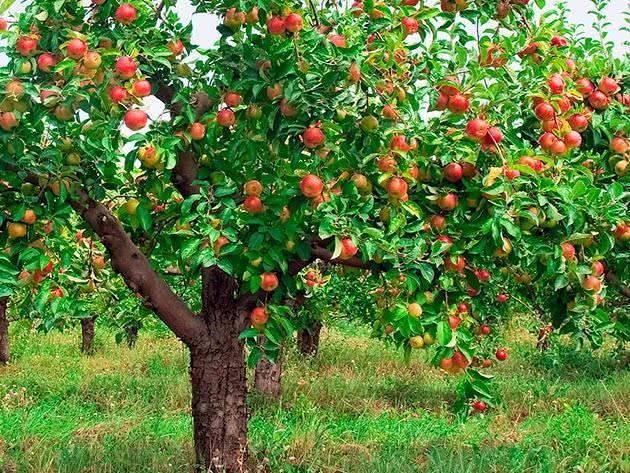 Полное описание сорта яблок слава победителям
