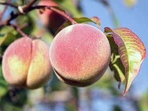 Обработка персика осенью от болезней