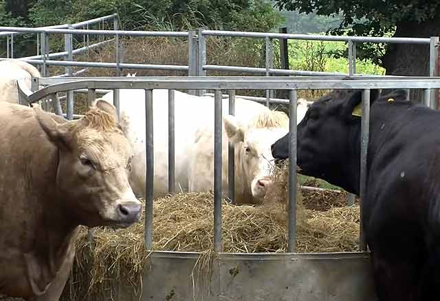 Кормовые дрожжи для крс (коров, быков, телят): химический состав, дозировка, инструкция по применению
