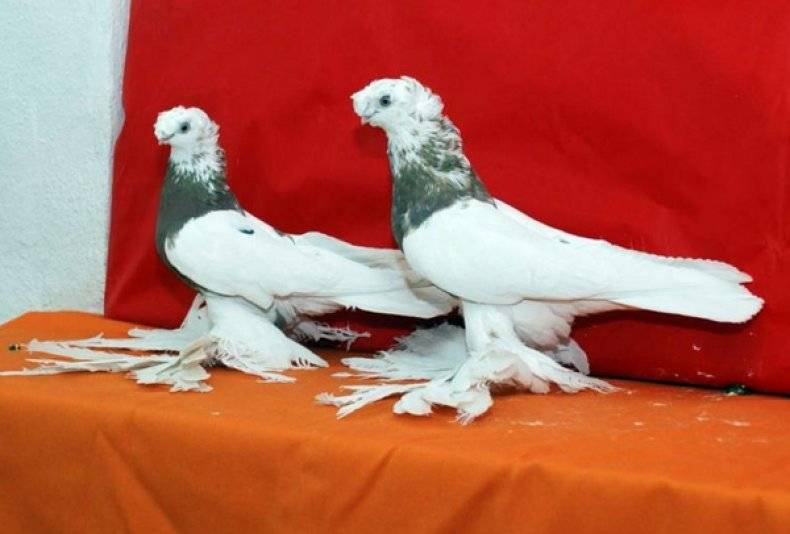 Андижанские голуби: стандарт породы и особенности содержания