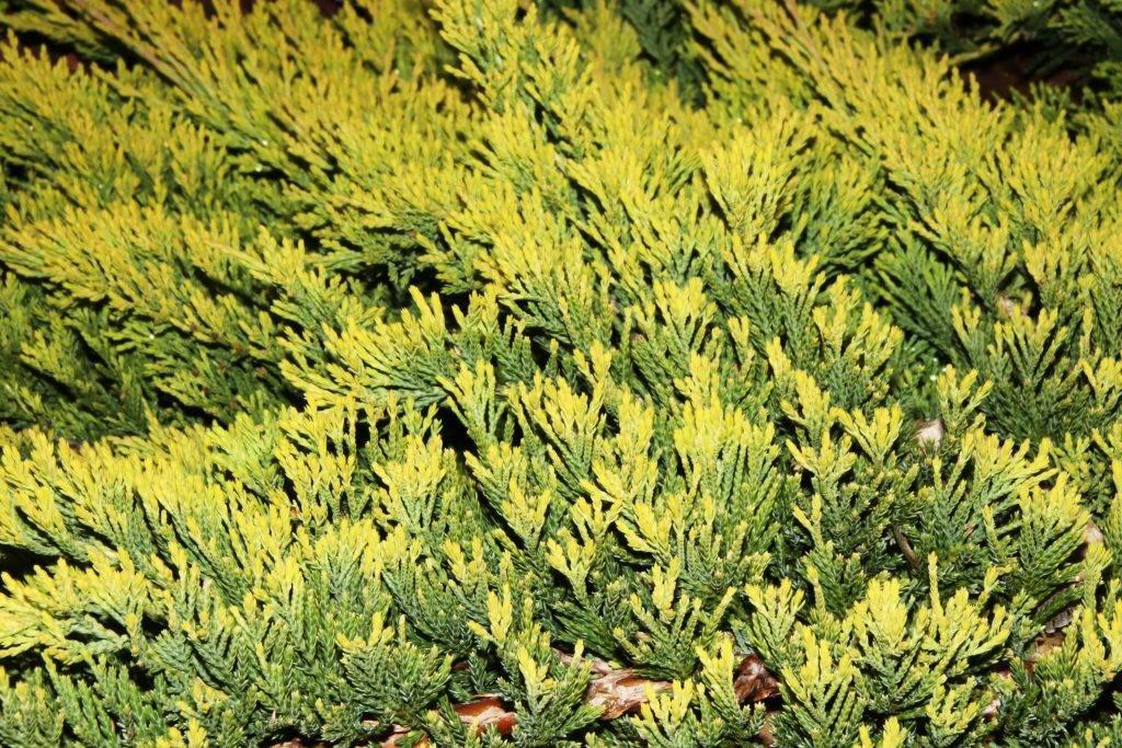 Можжевельник «голден карпет»: описание, секреты посадки и ухода