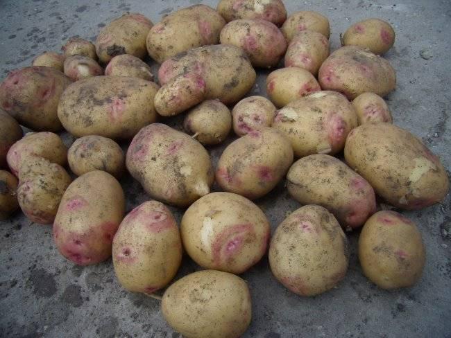 Сорт картофеля пикассо: описание и характеристика, отзывы