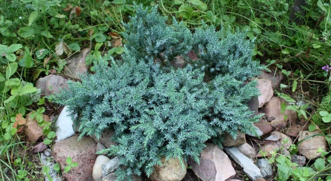 Можжевельник блю карпет: описание, фото, выращивание