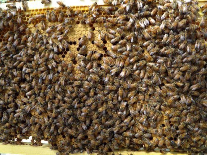 Подкормка пчел зимой: о чем следует знать