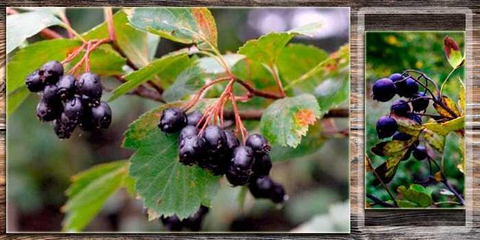 Применение полезных свойств боярышника в лечебных рецептах народной медицины