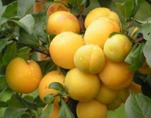 Гибрид сливы и абрикоса - как посадить, вырастить, ухаживать и размножать гибрид