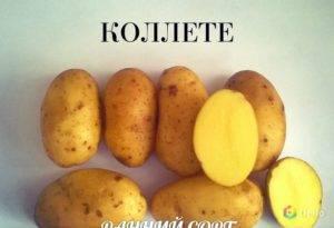Картофель сорта колетте: описание, отзывы и достоинства сорта
