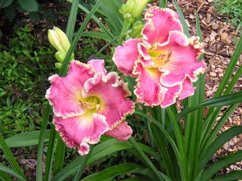 Лилейники посадка и уход в открытом грунте лилейники фото с названиями сортов и описанием размножение лилейников и выращивание из семян