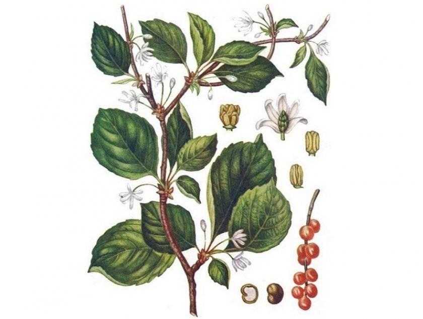 Лимонник китайский: посадка и уход, выращивание, размножение, обрезка, описание сортов с фото
