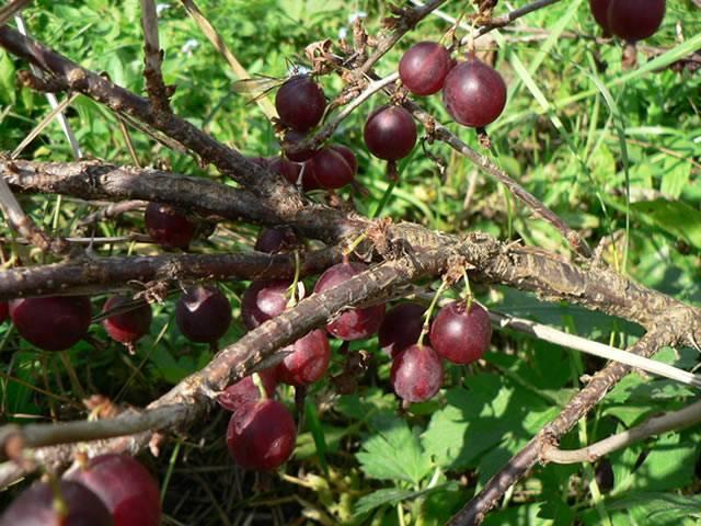 Крыжовник сорт черносливовый: описание, фото, отзывы