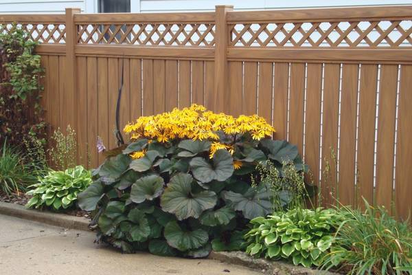 Бузульник: посадка и уход, размножение растения