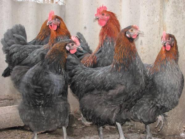 Редкие куры яично-мясной породы барневельдер