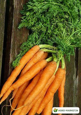 Характеристика и описание сорта моркови королева осени, выращивание
