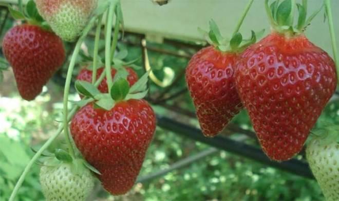 Особенности выращивания и характеристика сорта клубники клери
