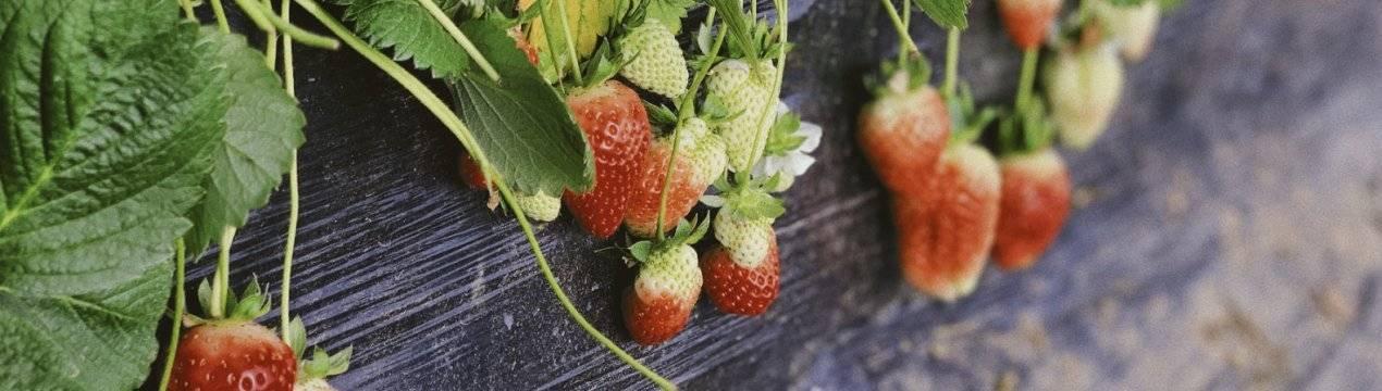 Особенности выращивания клубники московский деликатес