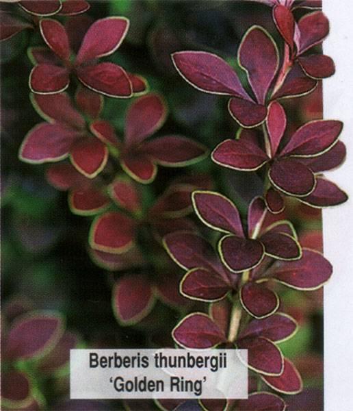 Барбарис Голден Ринг (Berberis thunbergii Golden Ring)