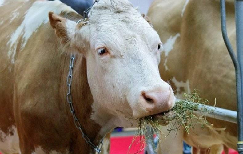 Что нужно предпринять, чтобы корова не лягалась при доении?