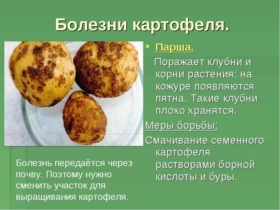Болезни картофеля - подробные описания, как бороться, профилактика