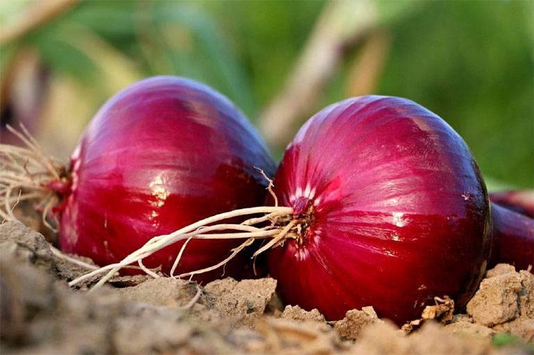 Лук геркулес: описание сорта и отзывы огородников
