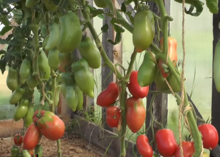 Грушовка: описание сорта томата, характеристики, агротехника помидоров