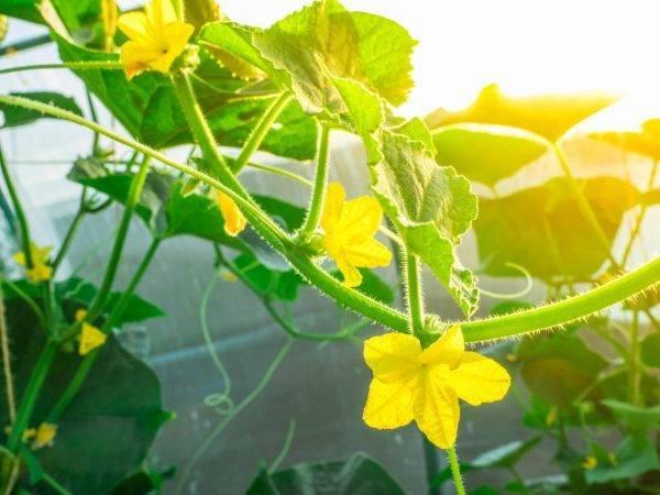Пустоцвет на огурцах – причины и что делать