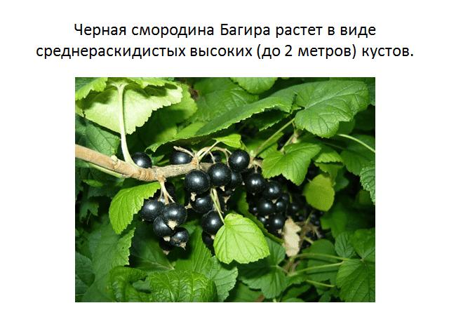 Черная смородина багира — ягоды грибы