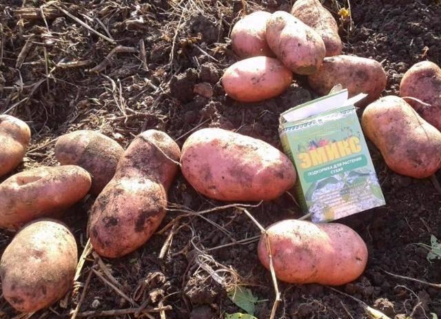Картофель манифест: 8 особенностей и 10 советов по выращиванию и хранению