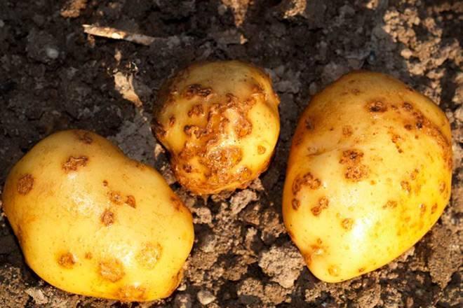 Как бороться с болезнями картофеля