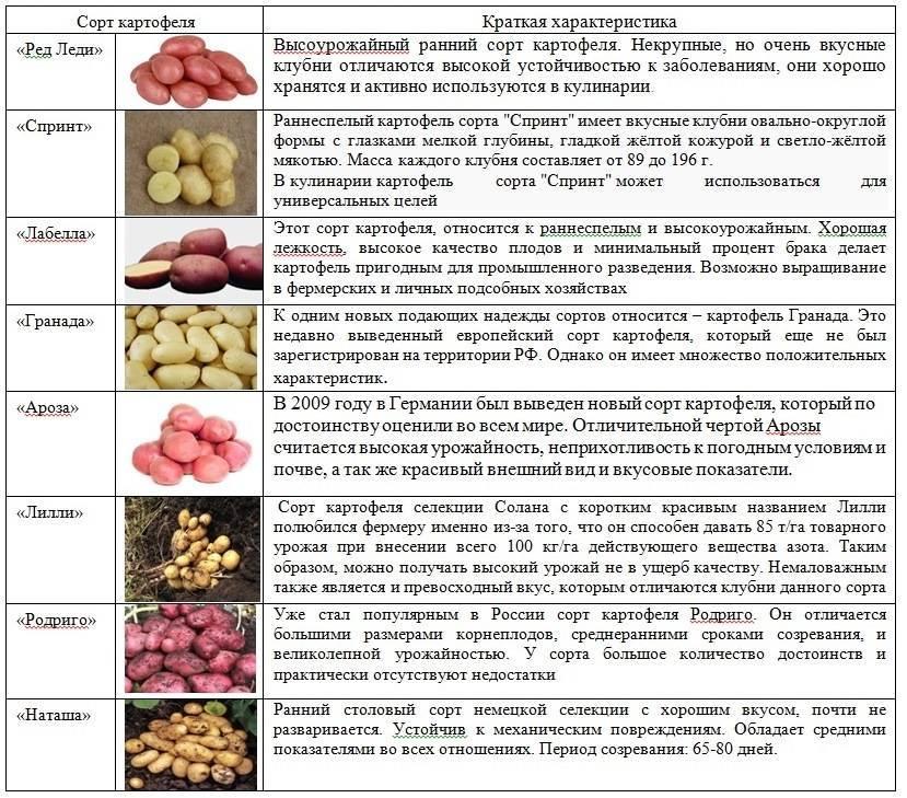 Описание сорта картофеля ред леди, фото и отзывы о сорте