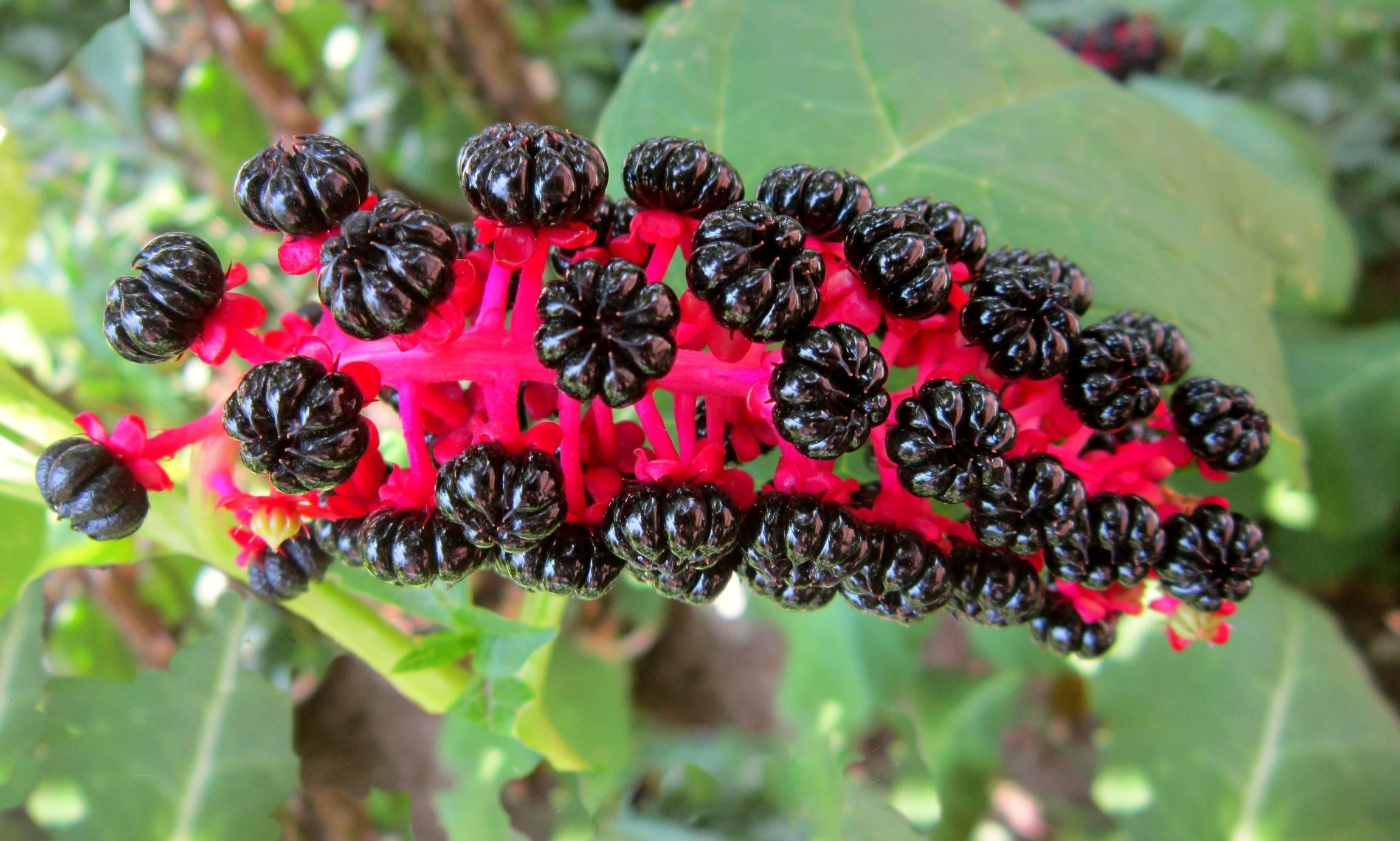 Растение лаконос (фитолакка) и его лечебные свойства