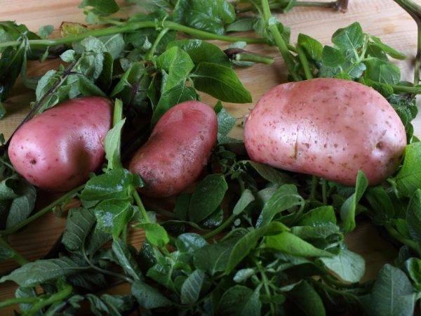 Картофель славянка — описание сорта, фото, отзывы, посадка и уход