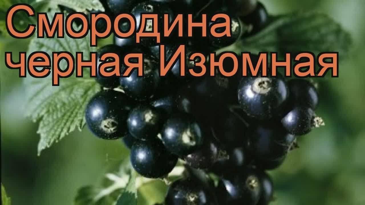 Черная смородина экзотика фото и описание сорта, посадка и уход
