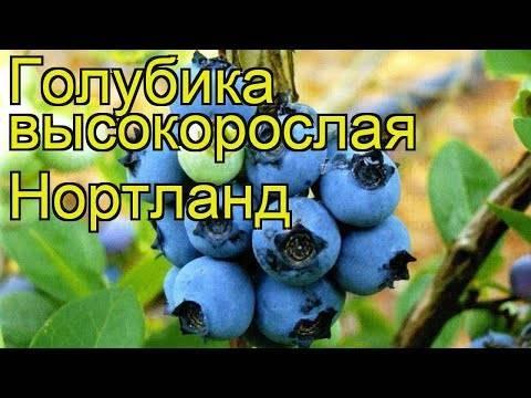 Голубика высокорослая нортланд: описание сорта, уход и выращивание