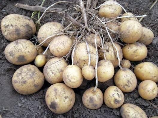 Сорт картофеля «ласунок»: характеристика, описание, урожайность, отзывы и фото