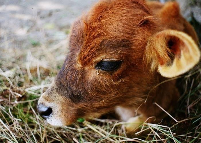 Диарея у теленка: симптомы, причины, лечение и профилактика