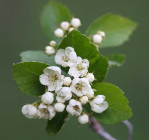 Цвет и плоды боярышника лечебные свойства и противопоказания