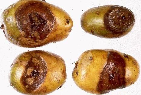 Почему картошка чернеет после варки?