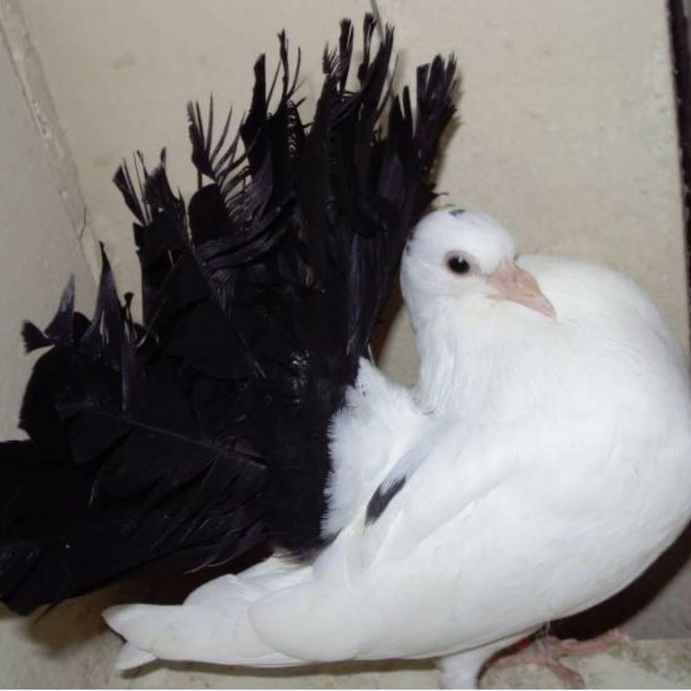 Самка павлина: особенности содержания и ухода