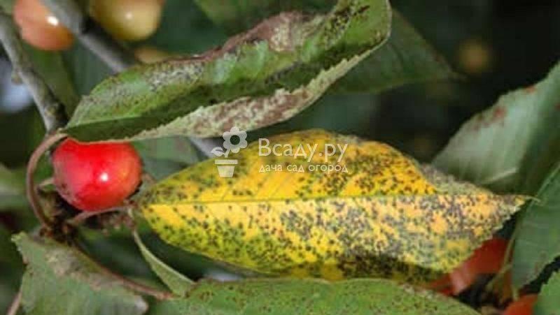 Болезни и вредители вишни: меры профилактики и способы борьбы