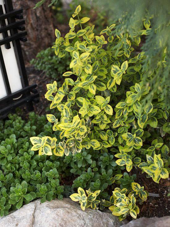 Как правильно выращивать бересклет форчуна эмеральд гаити