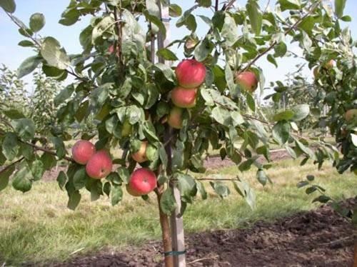 Особенности посадки яблонь осенью