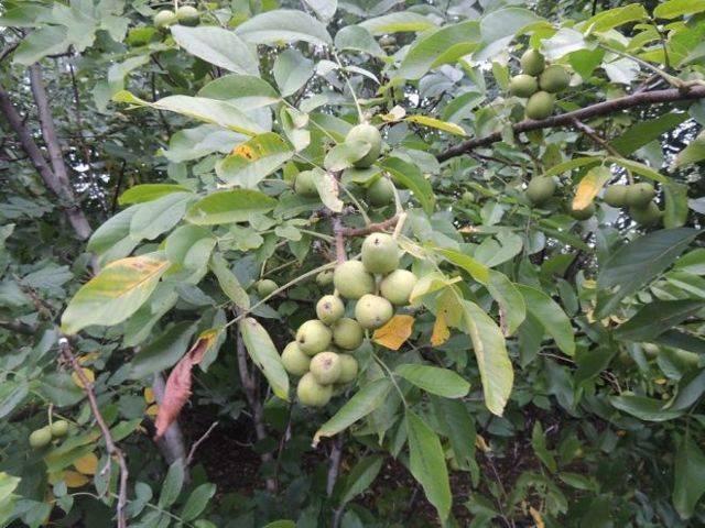 Листья грецкого ореха: полезные свойства и противопоказания