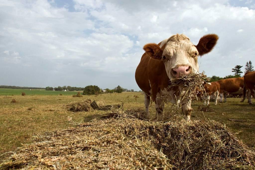 Травматический ретикулоперикардит у коров: признаки и лечение
